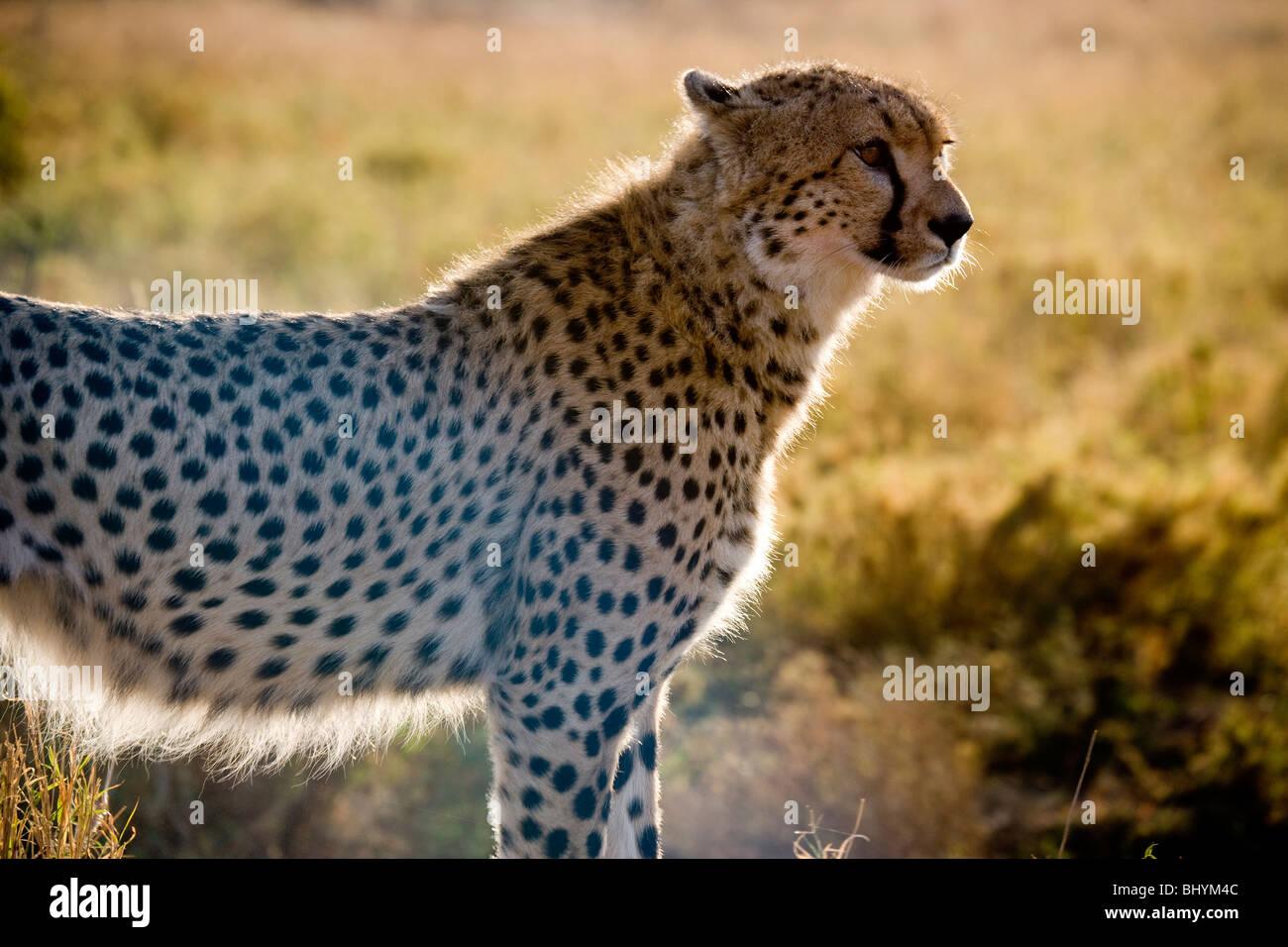 Cheetah on the hunt, Serengeti NP, Tanzania, East Africa - Stock Image