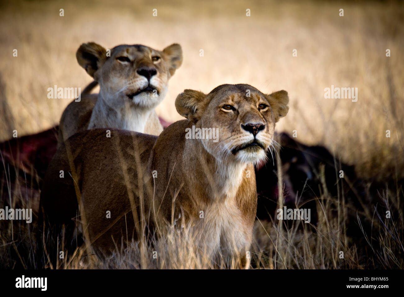 Lioness, Serengeti NP, Tanzania, East Africa Stock Photo