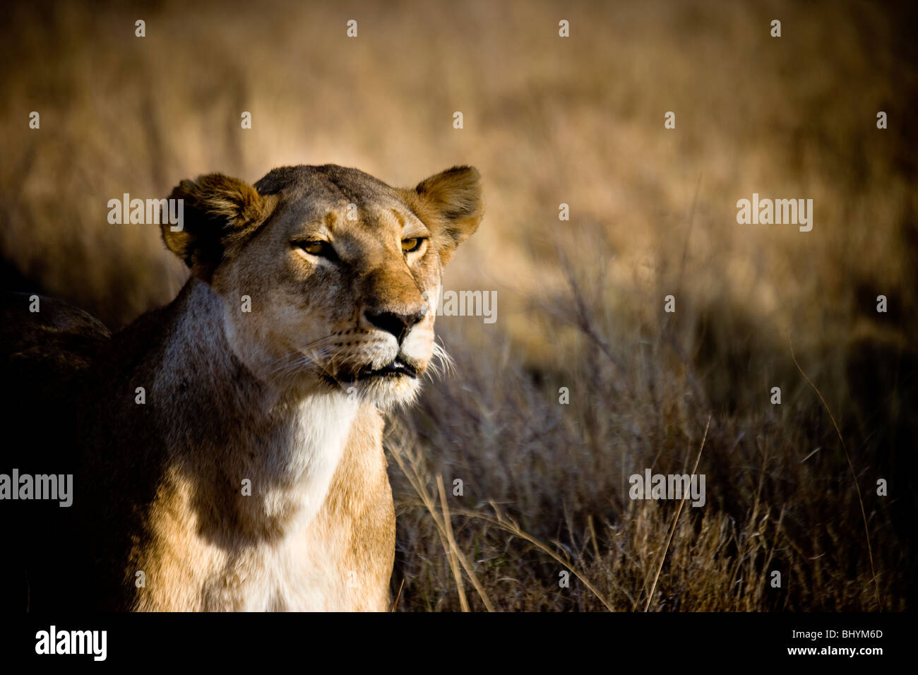 Lioness, Serengeti NP, Tanzania, East Africa - Stock Image