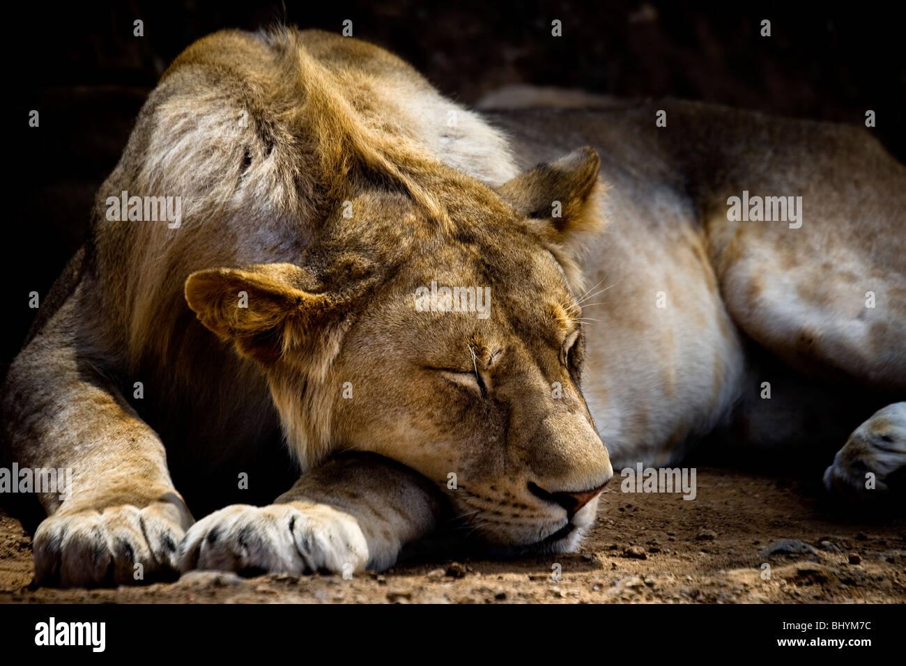 Young male lion sleeping, Serengeti NP, Tanzania, East Africa - Stock Image