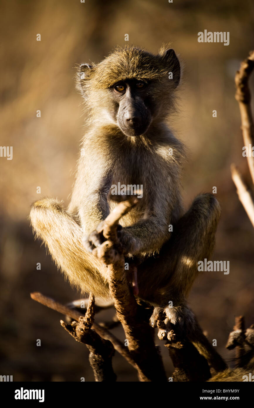Young male Olive Baboon, Tarangire NP, Tanzania, East Africa - Stock Image