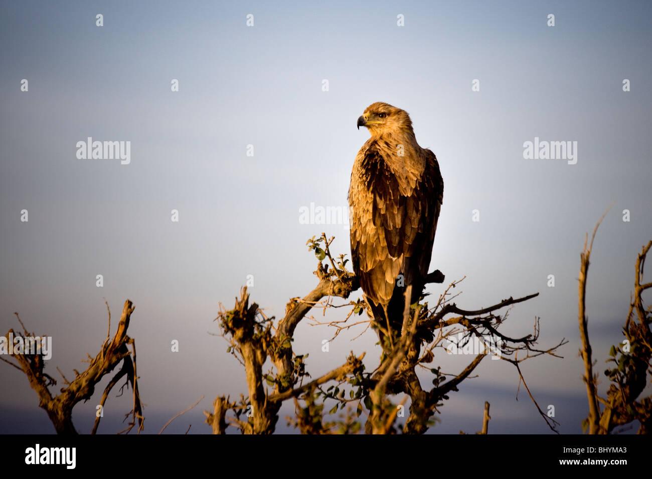 Tawny Eagle, Tarangire NP, Tanzania, East Africa - Stock Image
