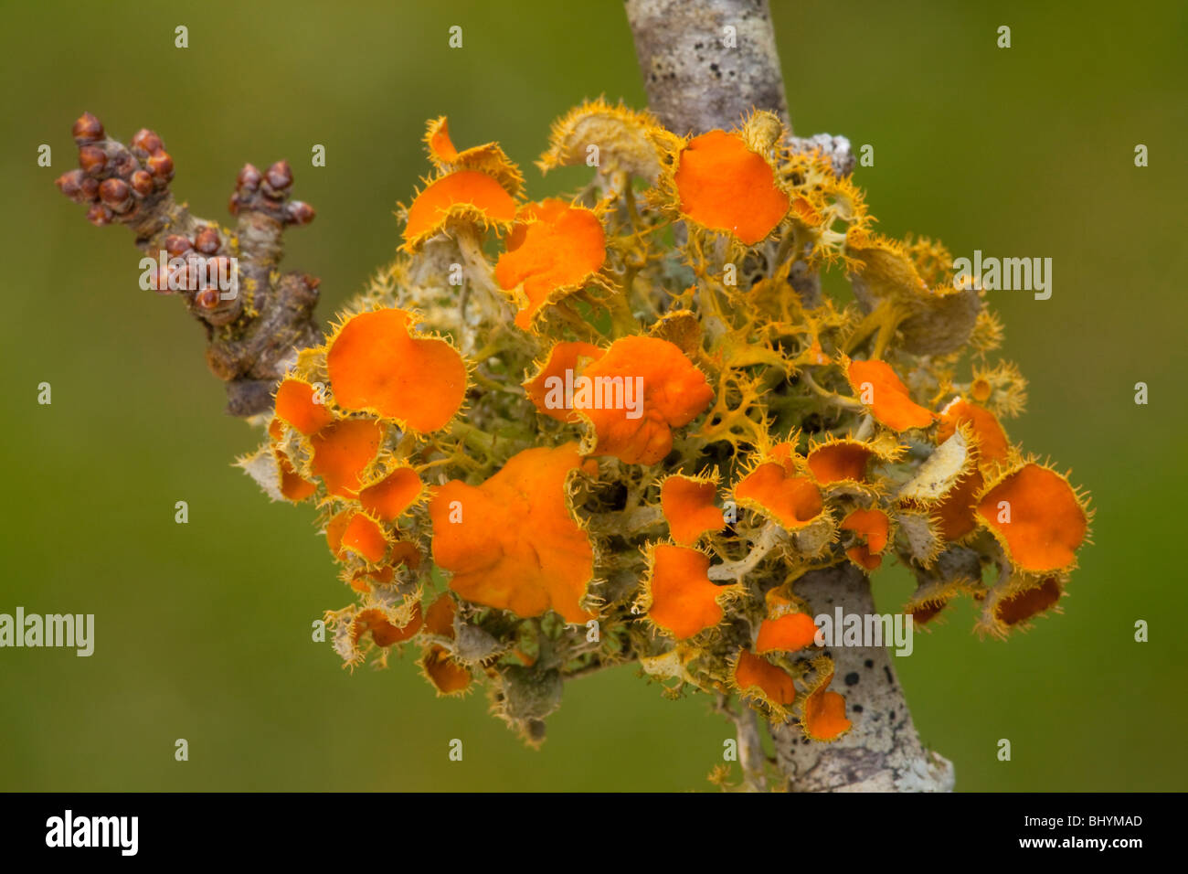Goldeneye lichen, Teloschistes chrysophthalmus on blackthorn twig. Extremely rare in UK, formerly thought to be - Stock Image