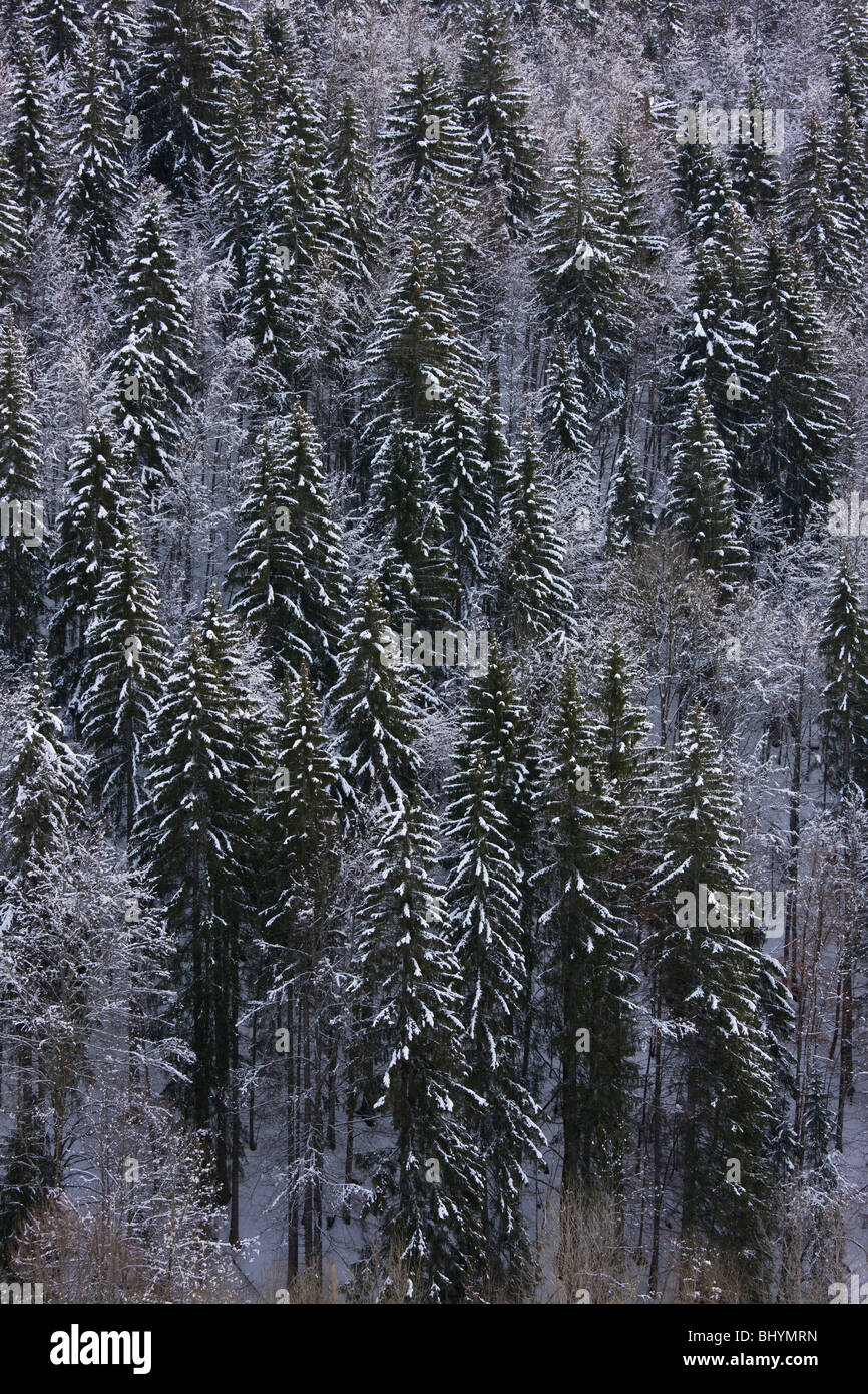 Norway Spruce ( Picea abies ) forest in winter snow, on the Col de Faucille, Jura Mountains, east France. - Stock Image