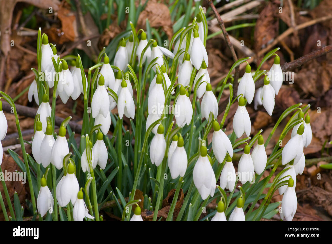 A Clump Of Snowdrops 'galanthus' - Stock Image