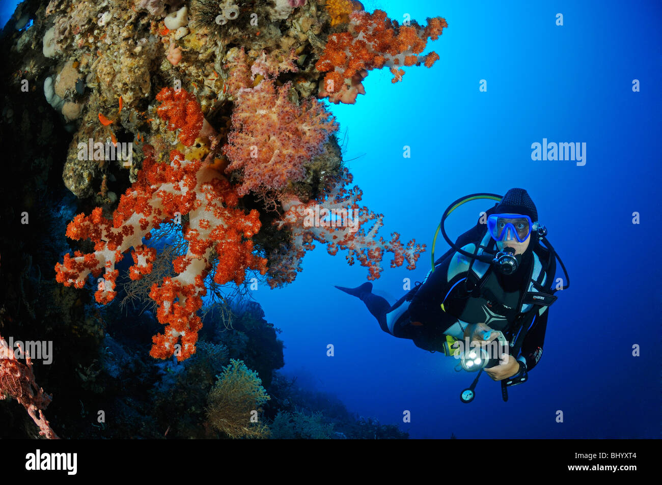 Dendronephthya klunzingeri, scuba diver with colorful coral reef and soft corals and barrel sponge, Bali - Stock Image