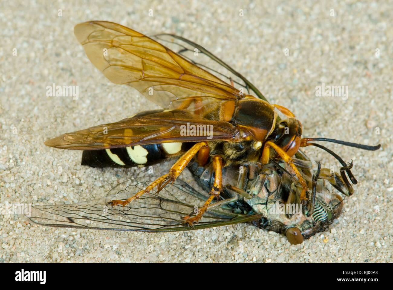 Cicada Killer Sphecius killing Cicada Eastern USA - Stock Image