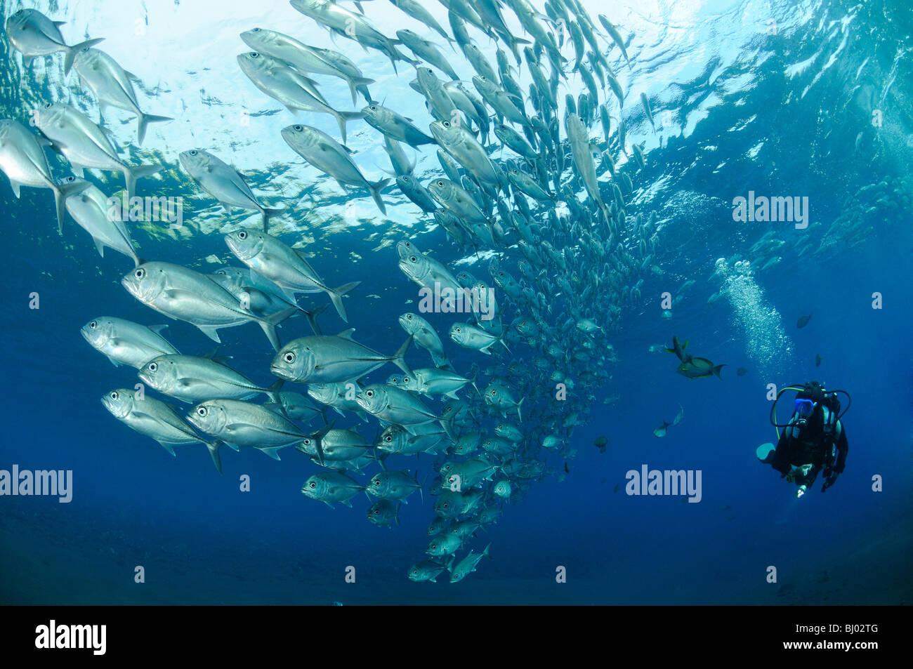 Caranx sexfasciatus, Bigeye trevally, school of bigeye trevallys, school of fishes, scuba diver, Tulamben, Liberty - Stock Image