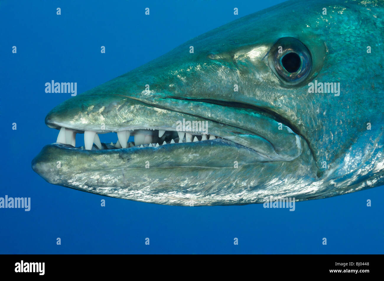 head of a Blackfin Barracuda, Tulamben, Liberty Wreck, Bali, Indonesia, Indopacific Ocean - Stock Image