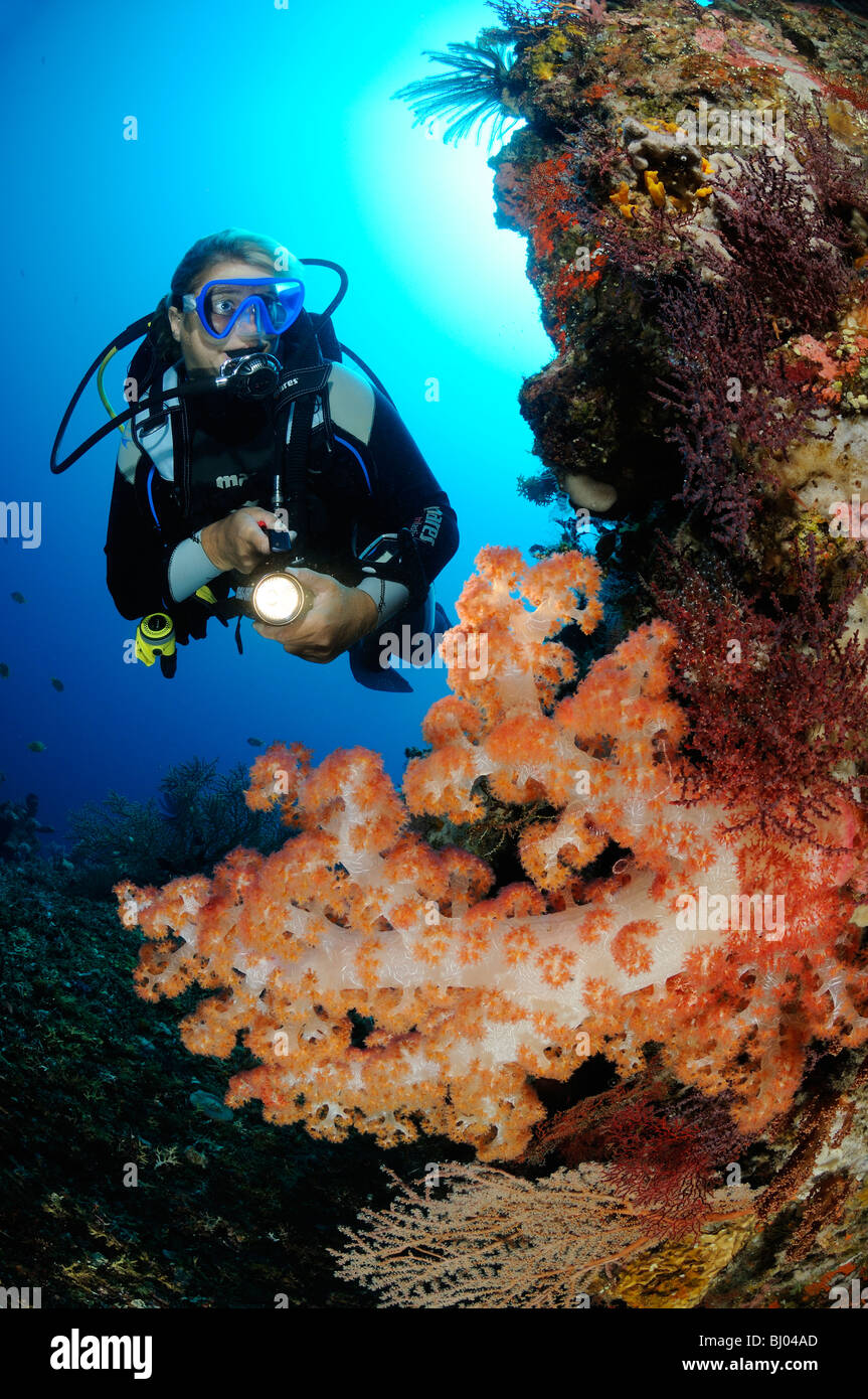 Dendronephthya klunzingeri, scuba diver with colorful coral reef and soft corals and barrel sponge, Tulamben. Bali - Stock Image