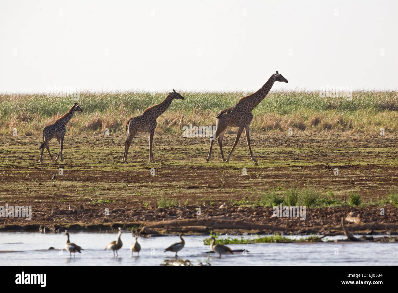 Three giraffes  Giraffa camelopardalis tippelskirchi walking in procession along a river bank in Lake Manyara, Tanzania, - Stock Image
