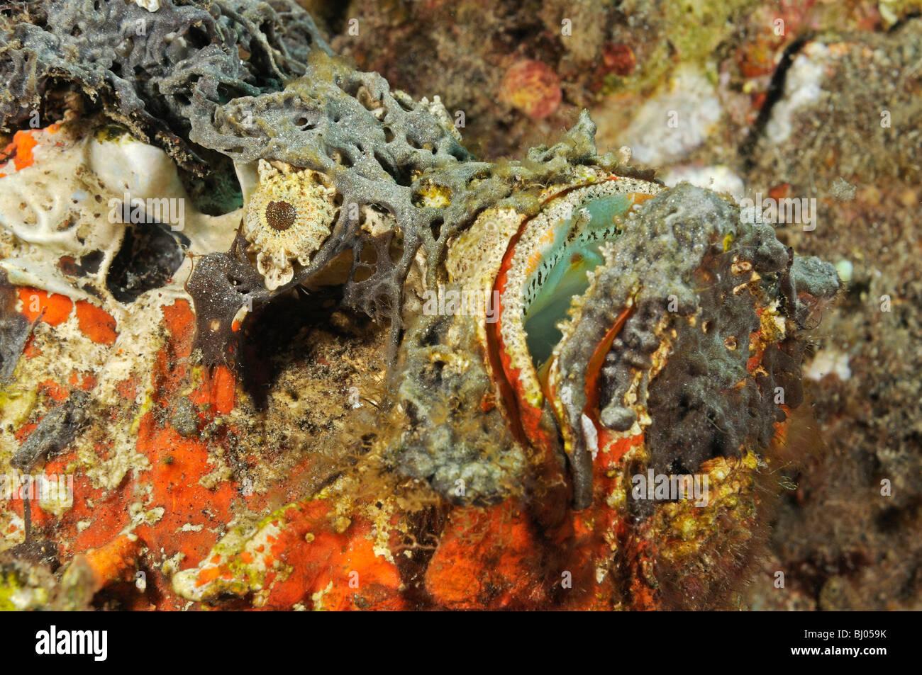 Synanceia horrida, Estuarine Stonefish, head, Tulamben, Bali, Indonesia, Indo-Pacific Ocean - Stock Image