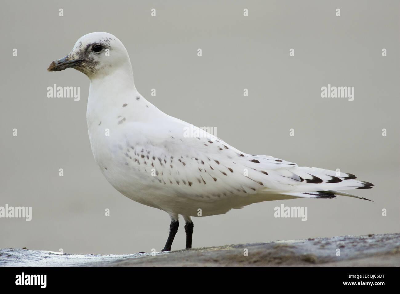 First-winter Ivory Gull (Pagophila eburnea) standing on a dead Minke Whale carcase - Stock Image