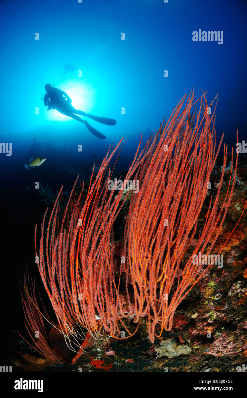 scuba diver with red whip corals, Drop Off, Tulamben, Bali - Stock Image