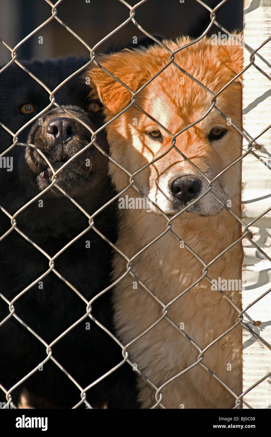Two junk yard dogs peering through chain link fence. - Stock Image