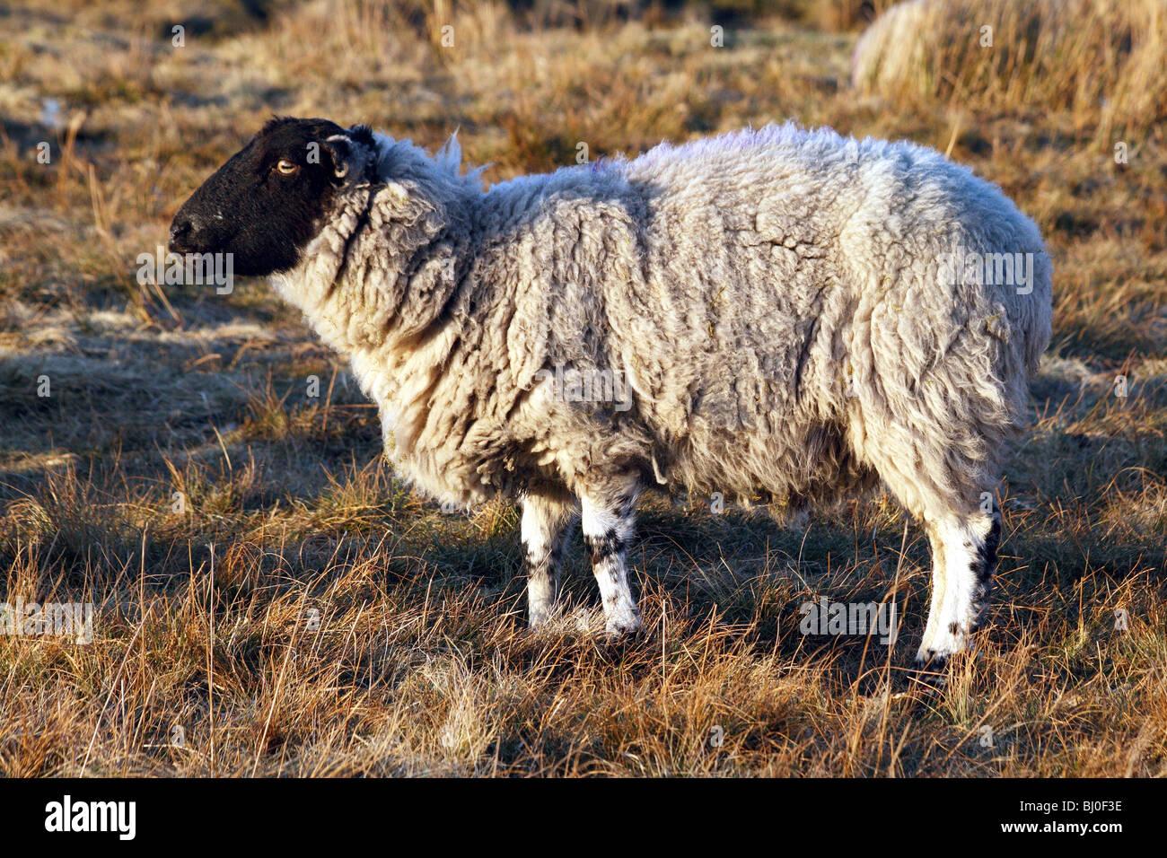 Sheep Breeds Derbyshire Gritstone Sheep a domestic farm