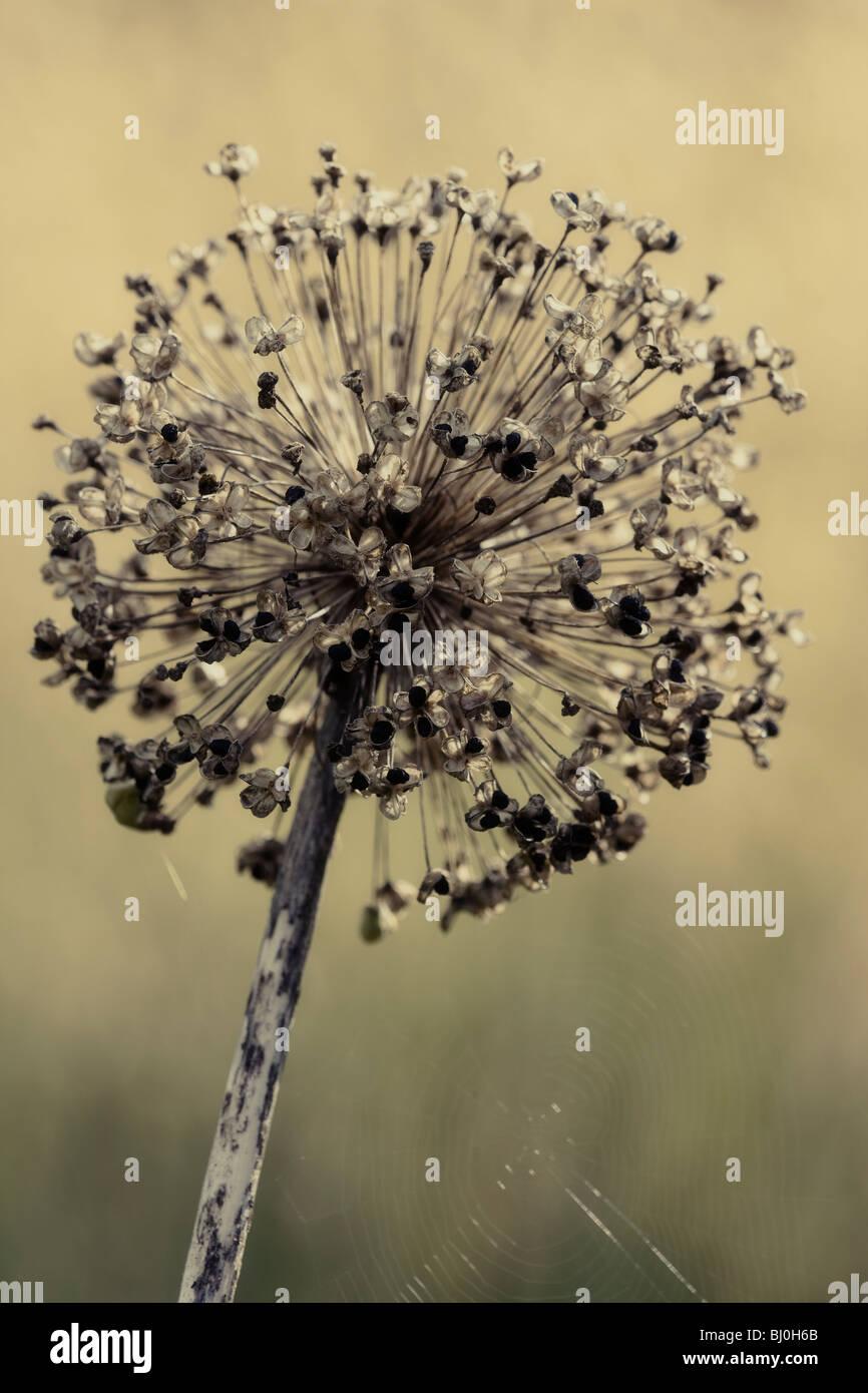 Allium seedhead,autumn - Stock Image