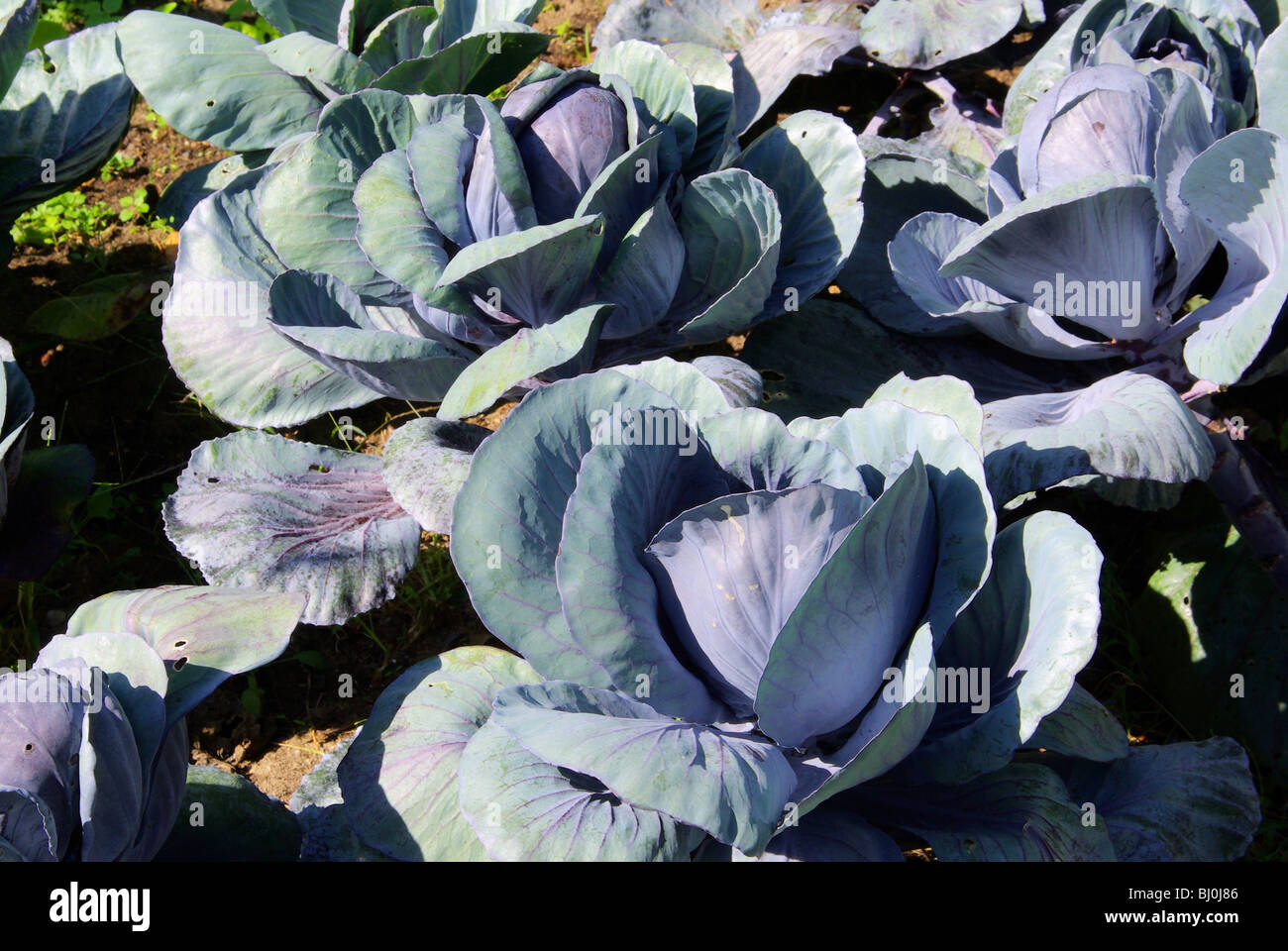 Rotkohl Feld - red cabbage field 01 - Stock Image