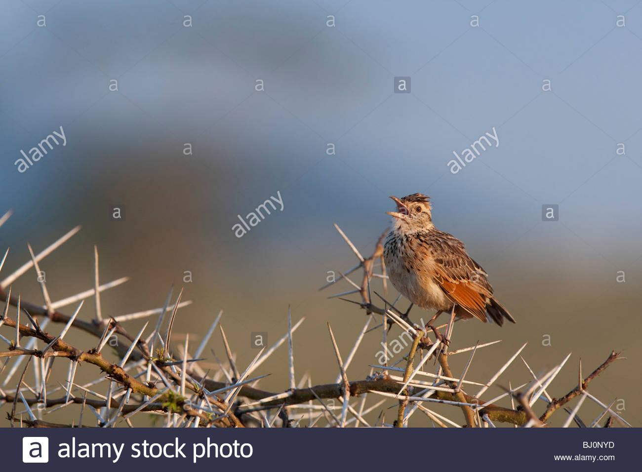 A Rufous-naped Lark (Mirafra africana) singing from a Acacia tree. Serengeti National Park, Tanzania. Stock Photo