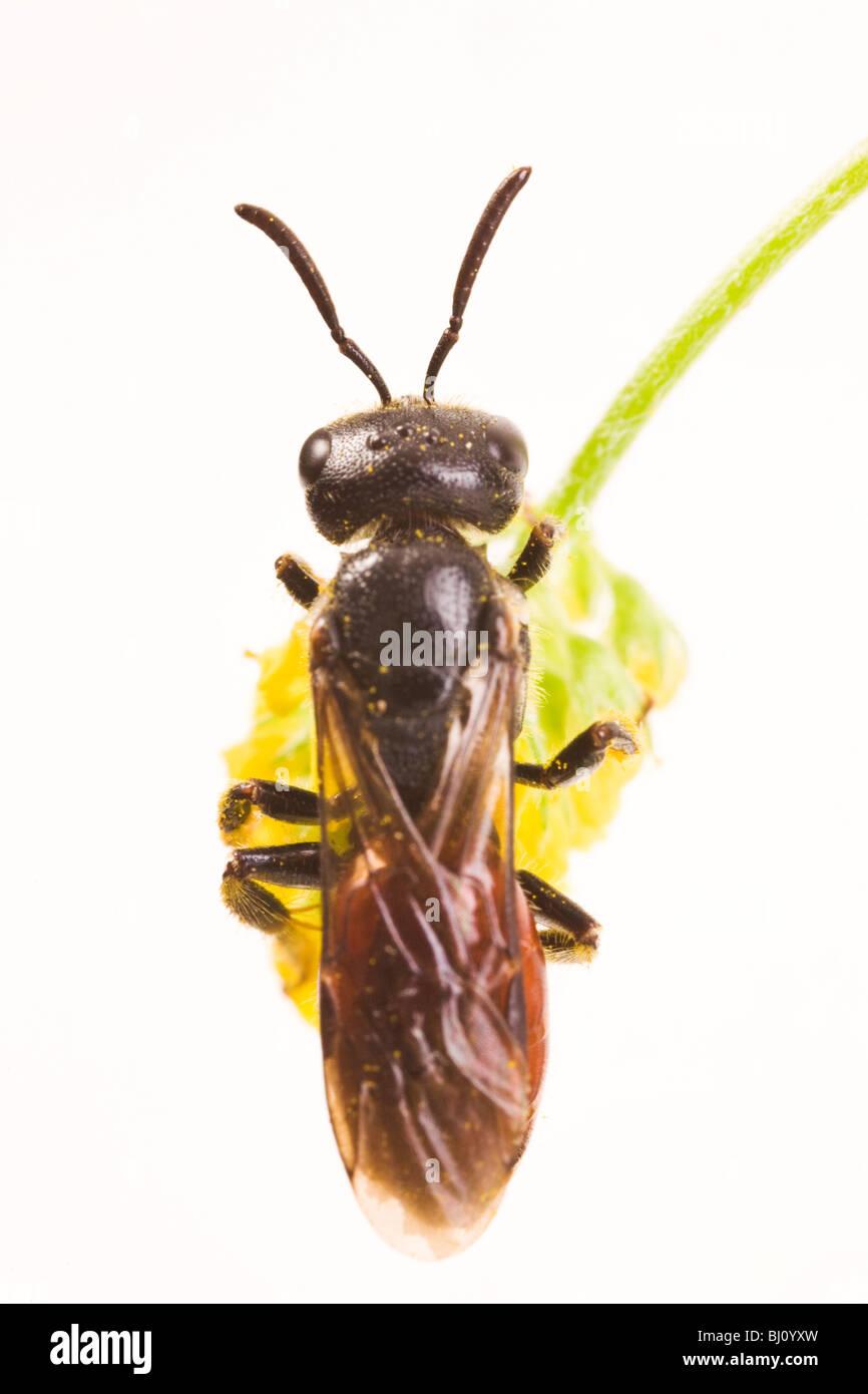 Cuckoo Bee (Sphecodes albilabris) Stock Photo