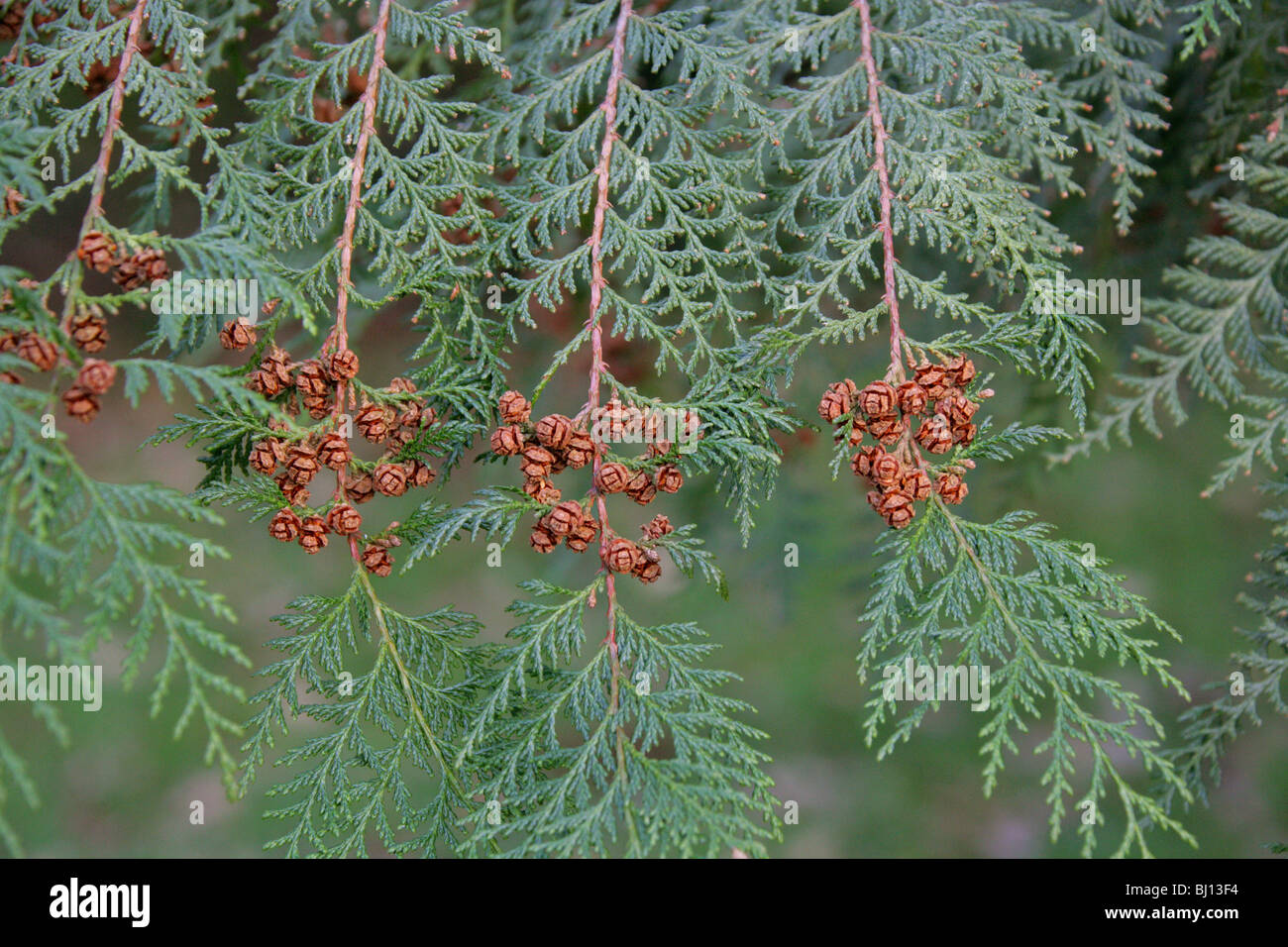 Formosan Cypress, Formosan False Cypress, Chamaecyparis formosensis, Cupressaceae, Taiwan, Asia. Endangered species. - Stock Image