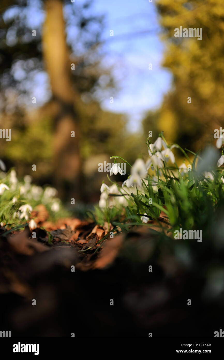 Woodland Snowdrops - Stock Image