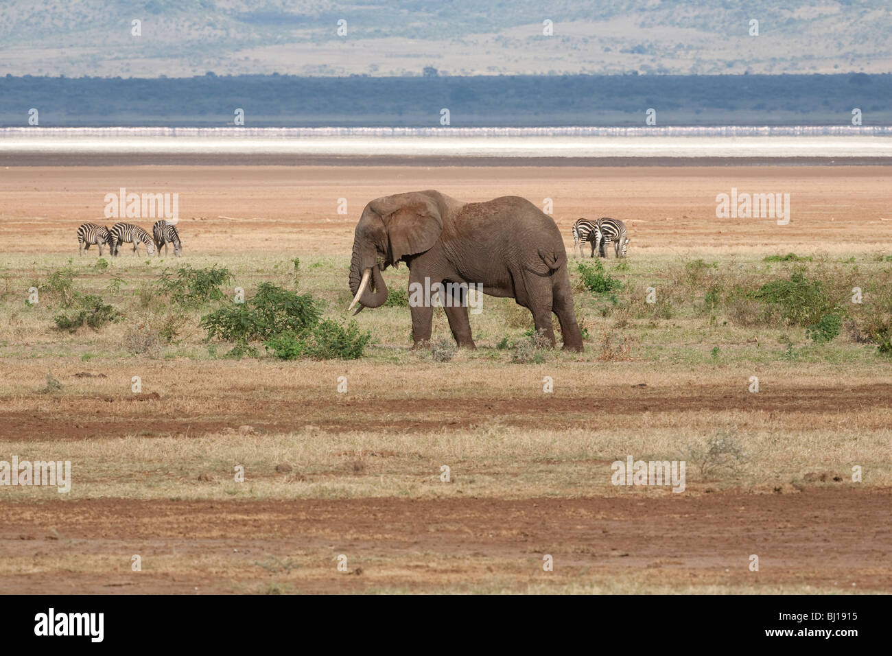 African Elephant and Zebra grazing on the plains of Lake Manyara, Tanzania - Stock Image