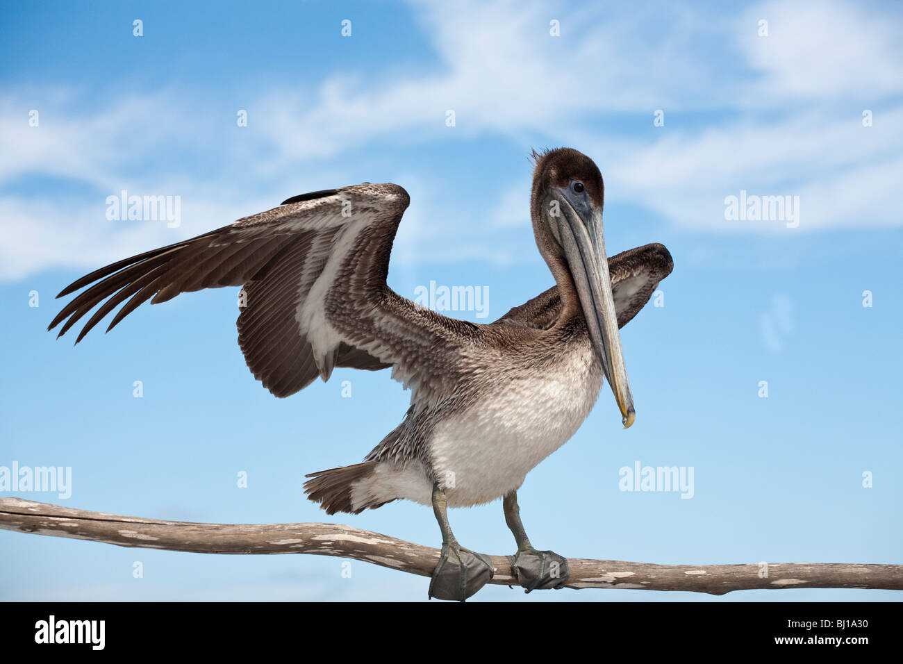 Immature Brown Pelican, ready for flight. A brown pelican with its wings partially extended welcomes visitors to - Stock Image