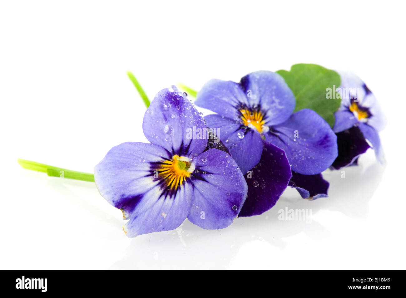 Blue Pansies isolated over white - Stock Image