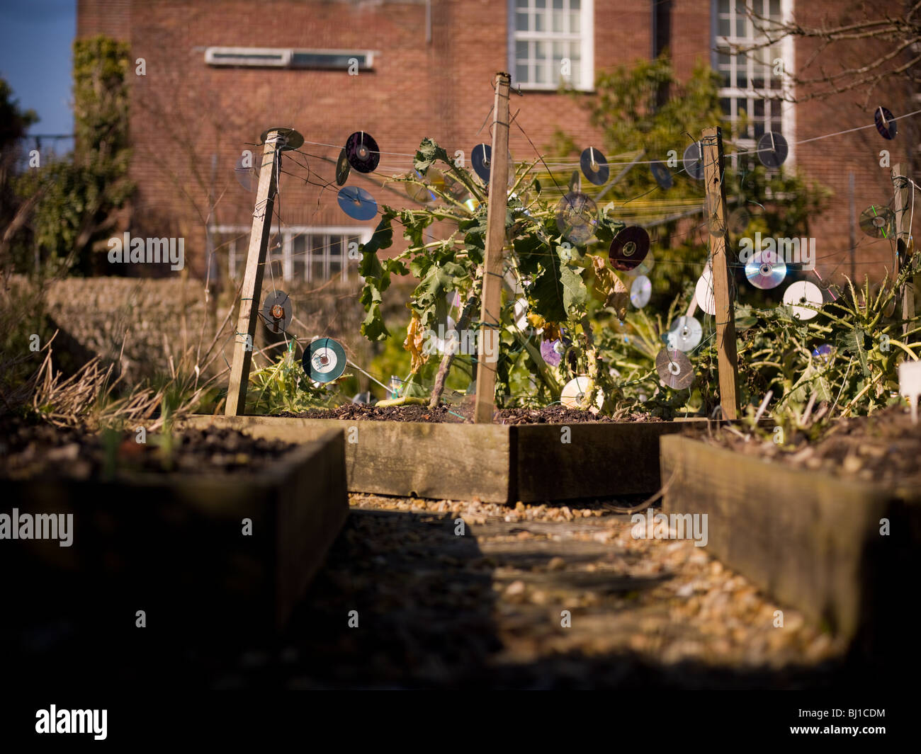 A vegetable patch in a garden using CD s to scare birds. - Stock Image