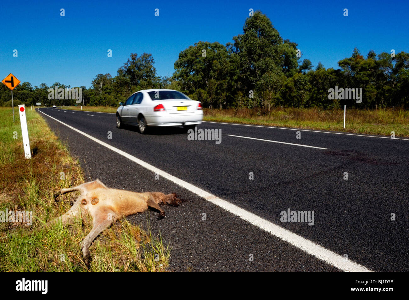 Photo shows a dead kangaroo, killed by car or truck, New South Wales, Australia. - Stock Image