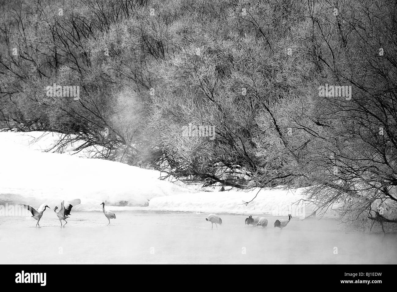 Roosting Endangered Japanese Red Crested Cranes in the river - Hokkaido, Japan - Stock Image