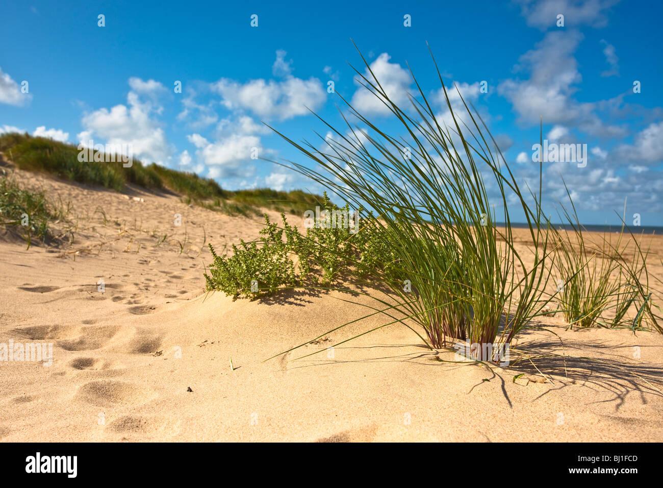 A clump of Marram grass on the beach at Thornham, Norfolk - Stock Image