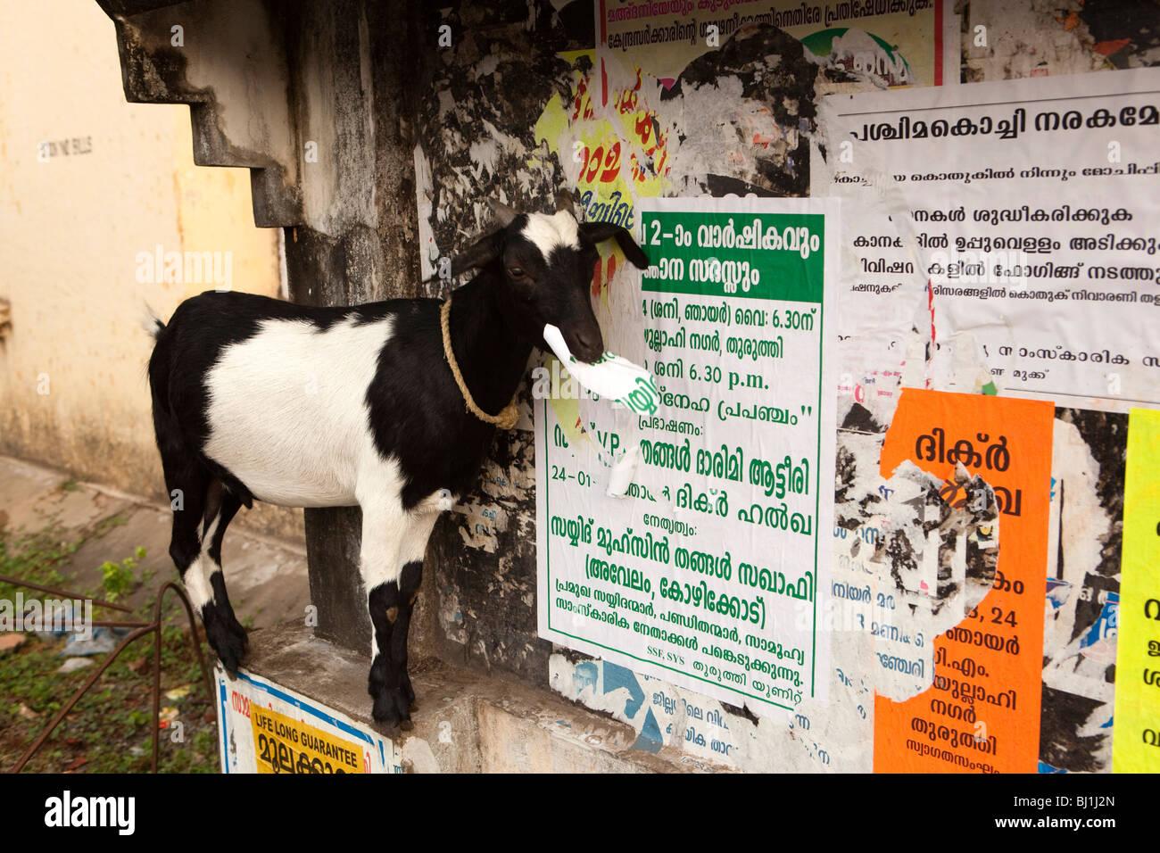 India, Kerala, Kochi, Fort Cochin, River Calvathy Road, goat eating paper torn from malayallam language poster Stock Photo