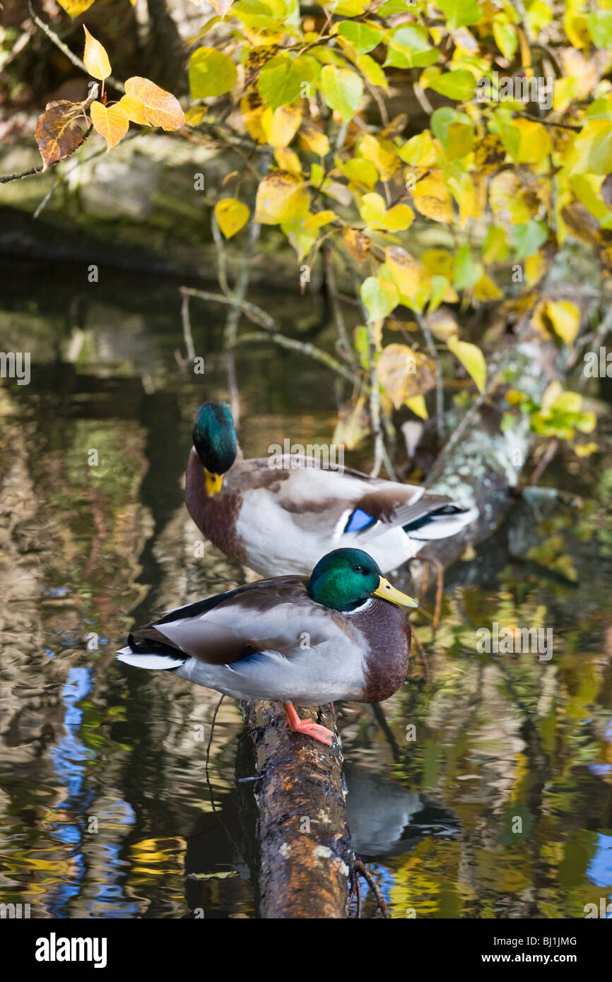 Mallard ducks sitting on a log over the water - Stock Image