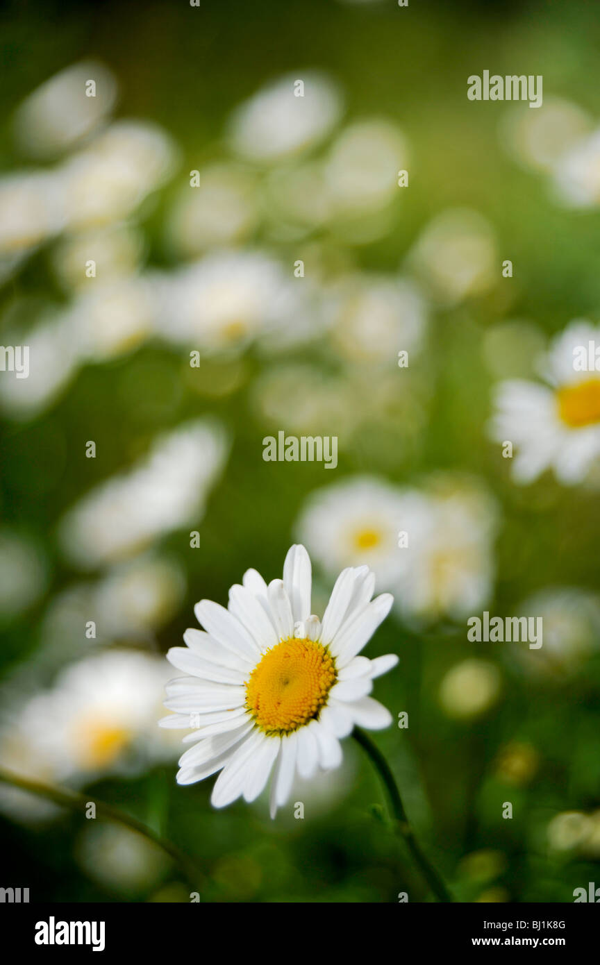 A lonely Daisy flower whit lots of similar flowers in the background in the shallow depth of field Stock Photo