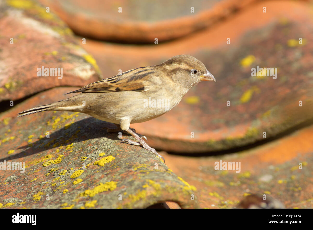 House Sparrow Uk Roof Stock Photos Amp House Sparrow Uk Roof