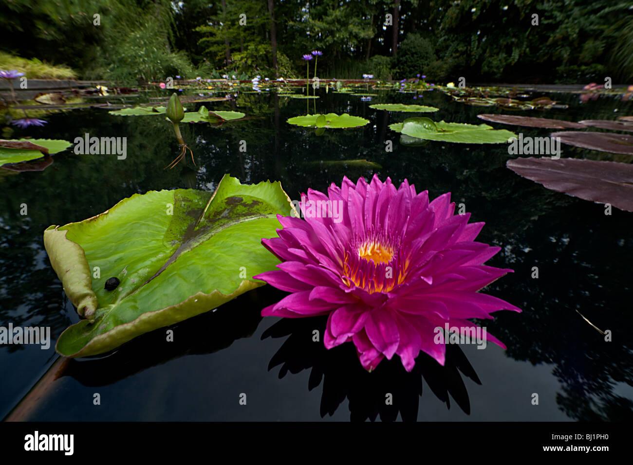 Liili pond - Stock Image