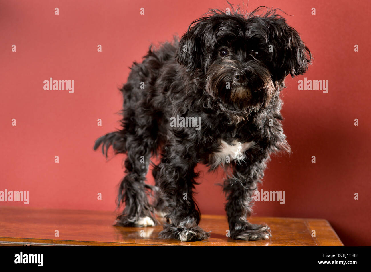 Full Length Portrait Of A Black Maltese Yorkie Mix Dog Standing