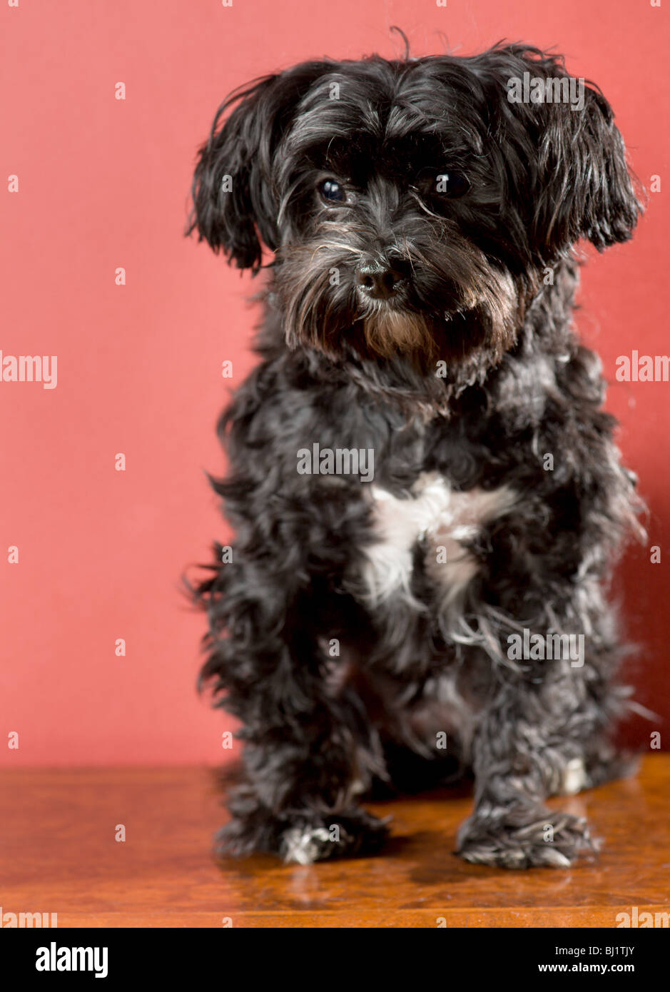 Full Length Portrait Of A Black Maltese Yorkie Mix Dog Sitting Stock