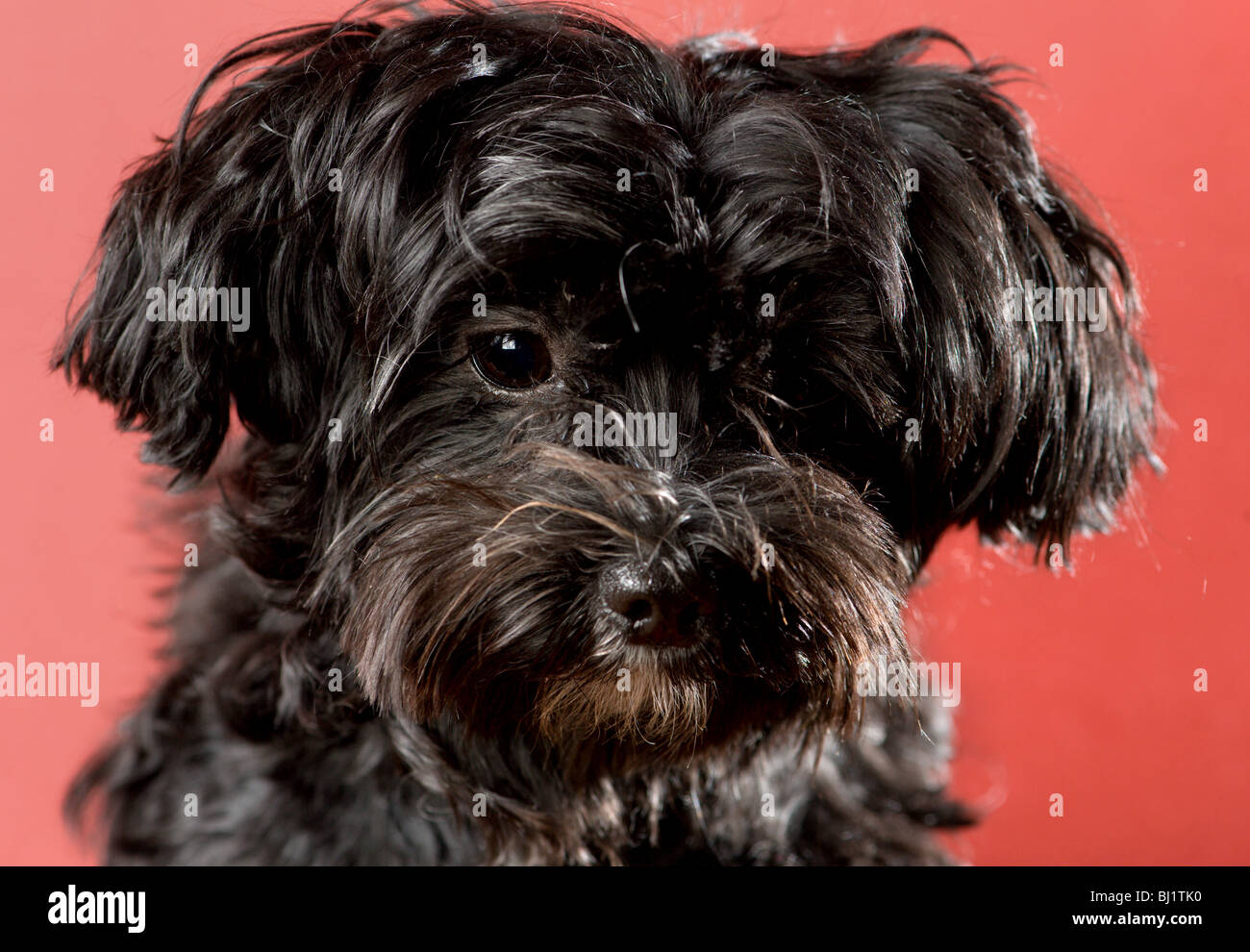 Close Up Portrait Of A Sad Looking Black Maltese Yorkie Mix Dog