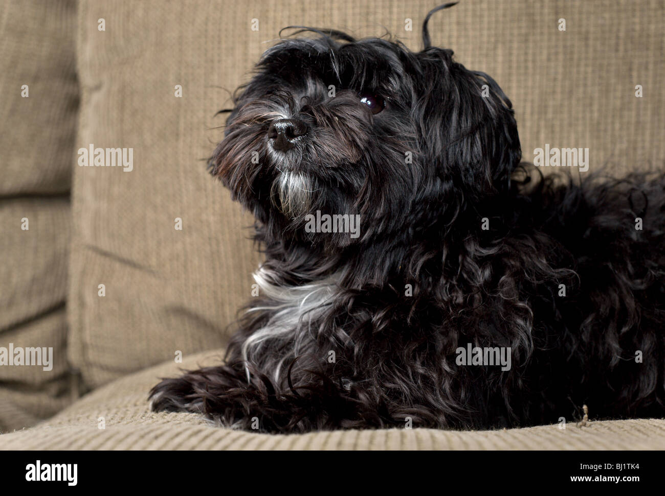 Black Maltese Yorkie Mix Dog Sitting On A Couch Looking Up Stock