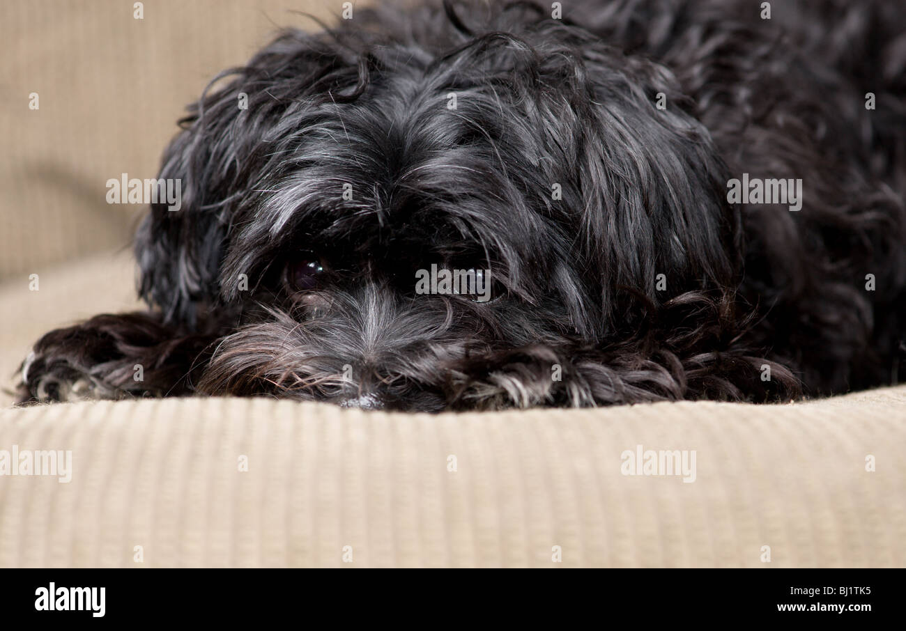 Black Maltese Yorkie Mix Dog Lying On A Couch Stock Photo 28315481