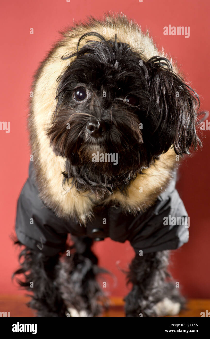 Black maltese and yorkie mix dog wearing a fur hood - Stock Image