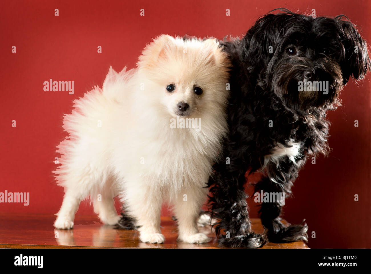 White pomeranian puppy standing next to a black and white maltese yorkie mix dog. - Stock Image