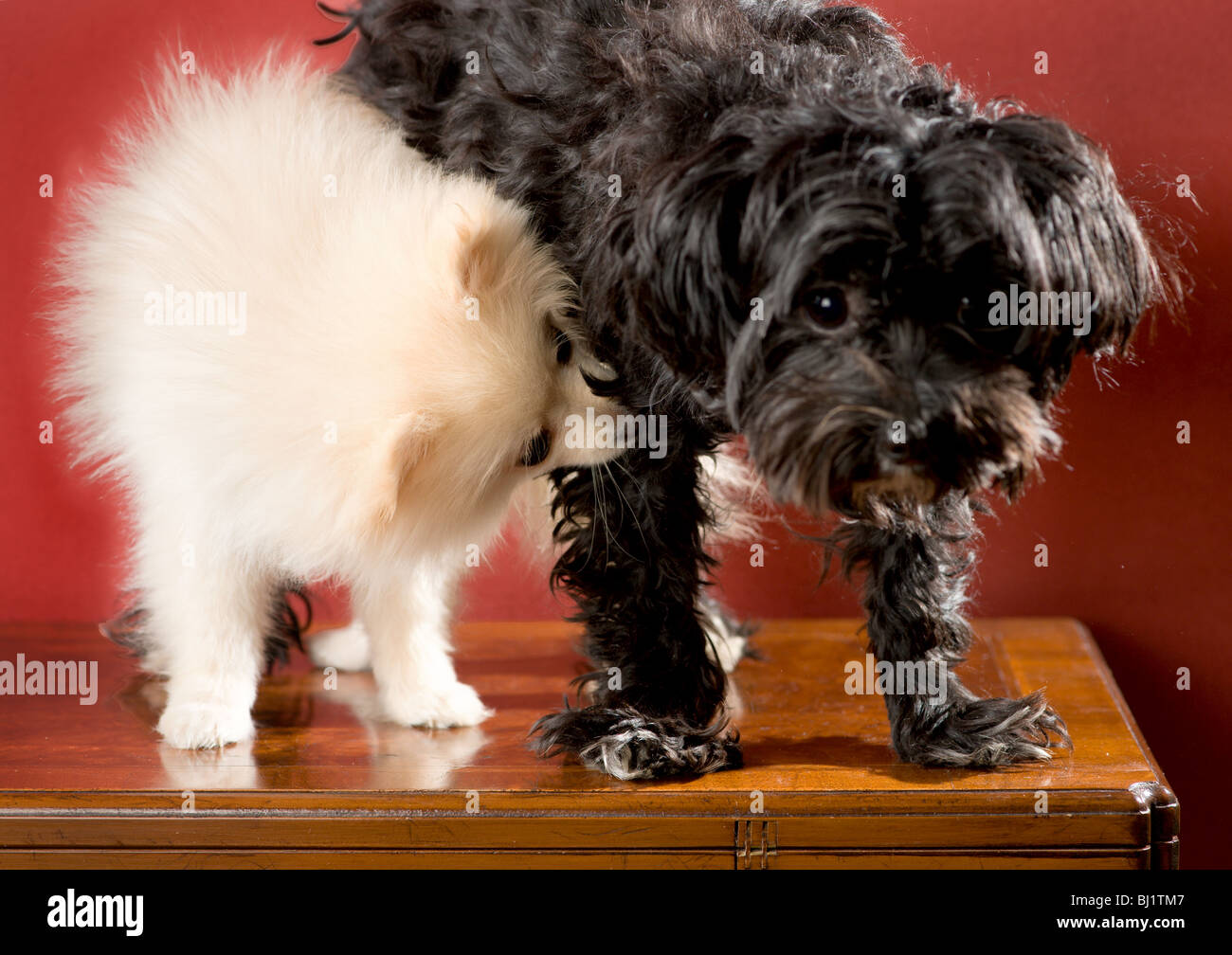 White pomeranian puppy standing next to a black and white maltese yorkie mix dog biting her leg - Stock Image