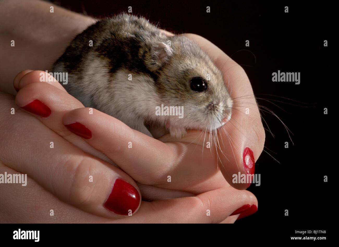 How to care for the Jungar hamster 17