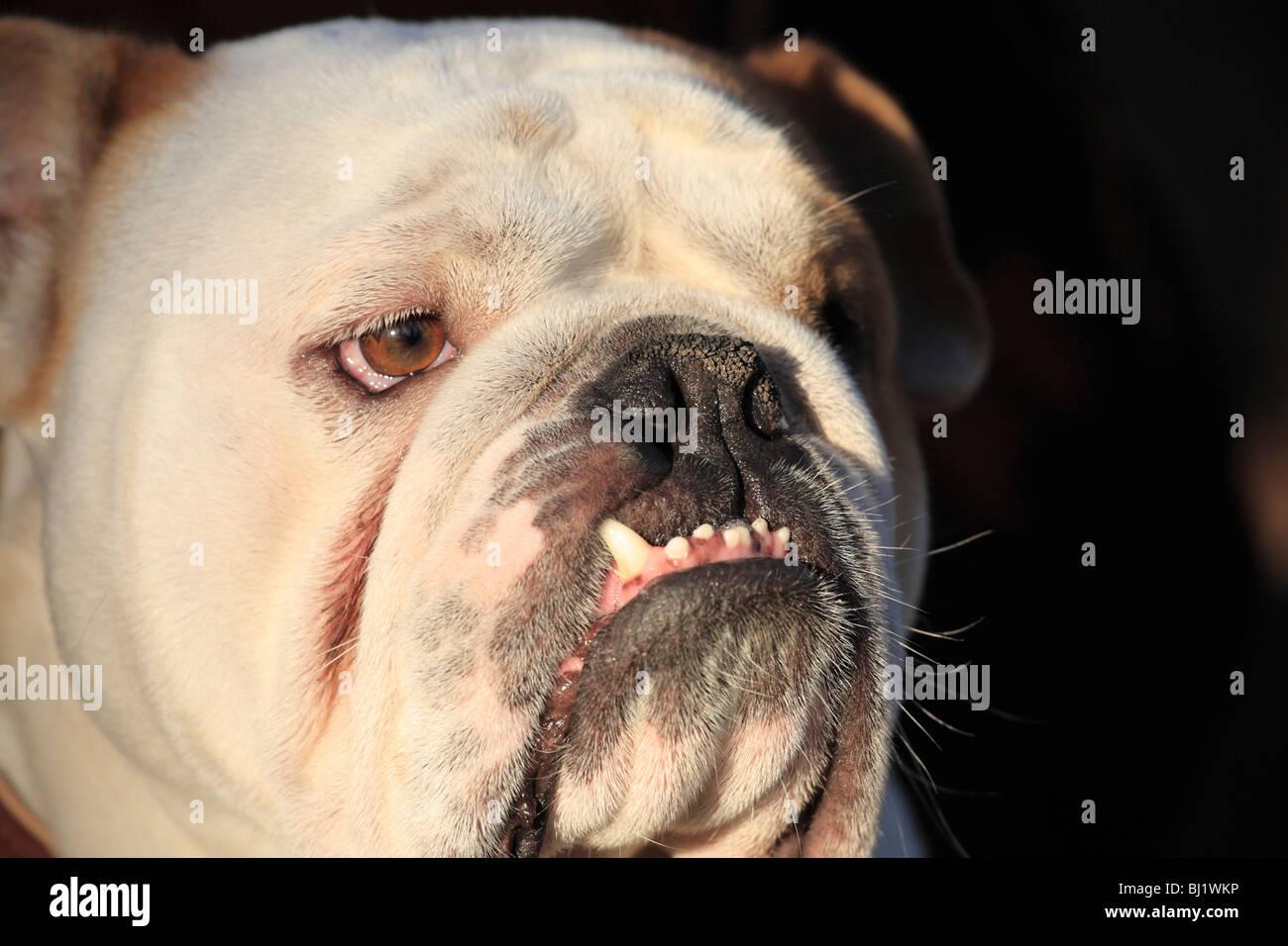 Bulldog portrait - Stock Image