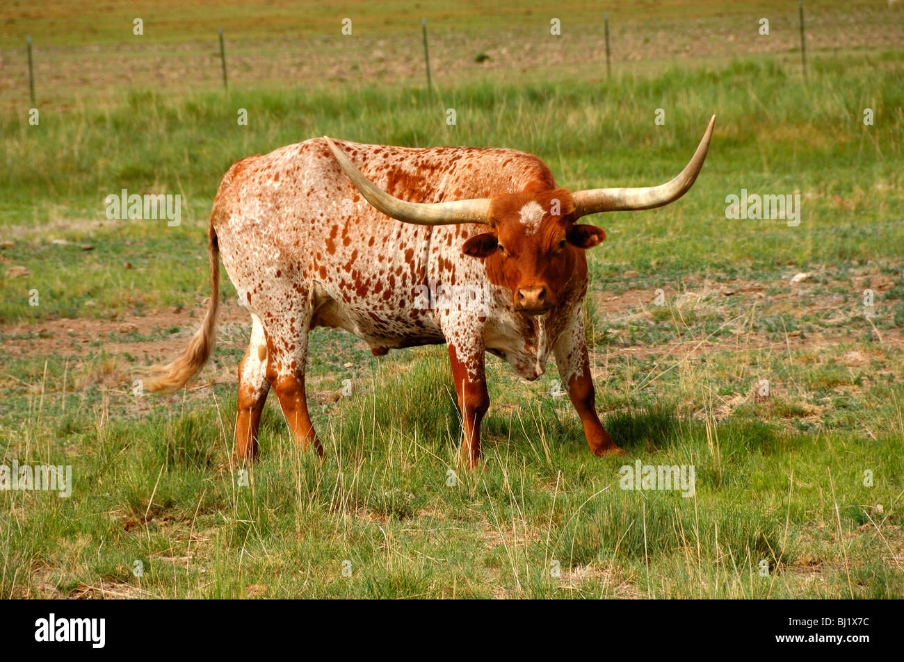 A splendid and aggressive Longhorn Bull near the City of Richfield,Utah State, United States of America - Stock Image