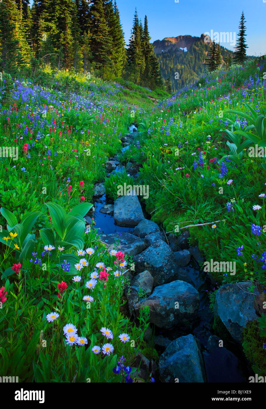 Abundance of wildflowers along creek in Mount Rainier National Park in Washington state, USA - Stock Image